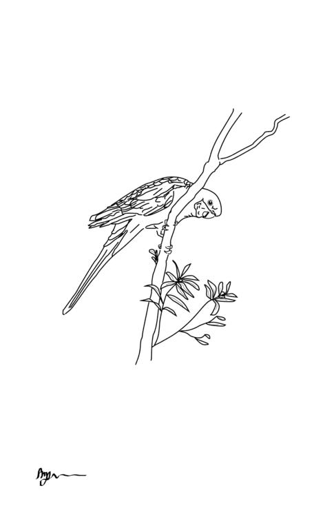 Crimson Rosella Line Art - illustration - rachelj-1394 | ello