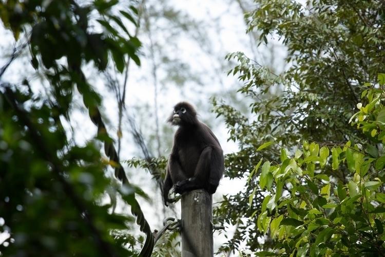 Black white monkey - Malaysia,  - misterpeekaboo | ello
