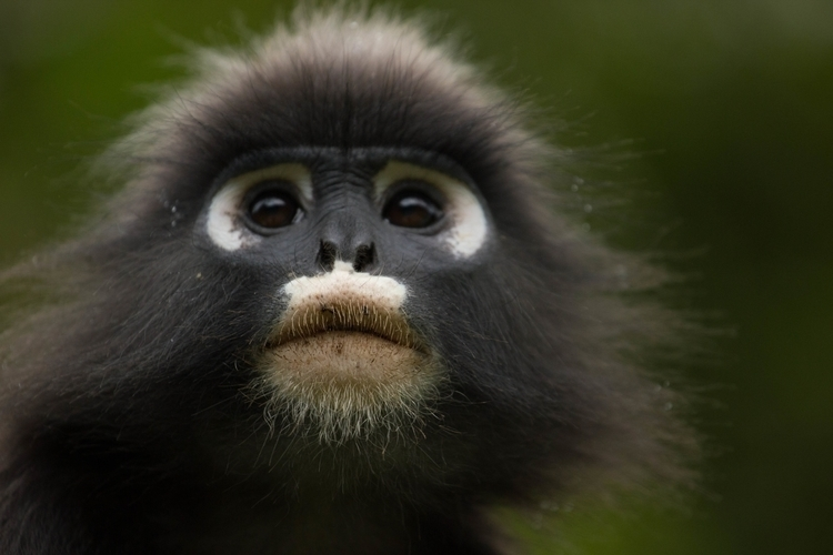 Black white monkey - Penang Isl - misterpeekaboo | ello