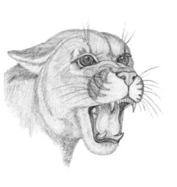 'Cougar - drawing - brandyhouse | ello