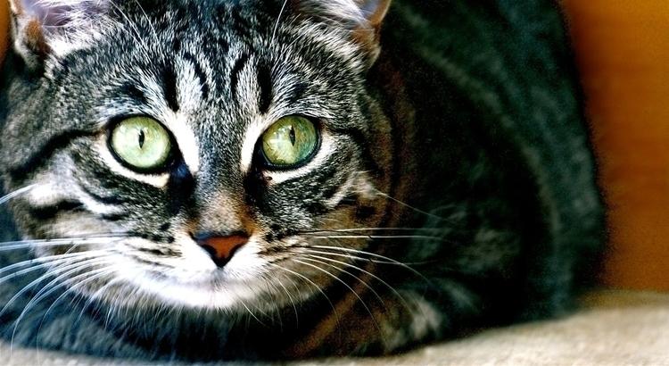 cat - animals, photography, portraiture - stefanolazzaro   ello