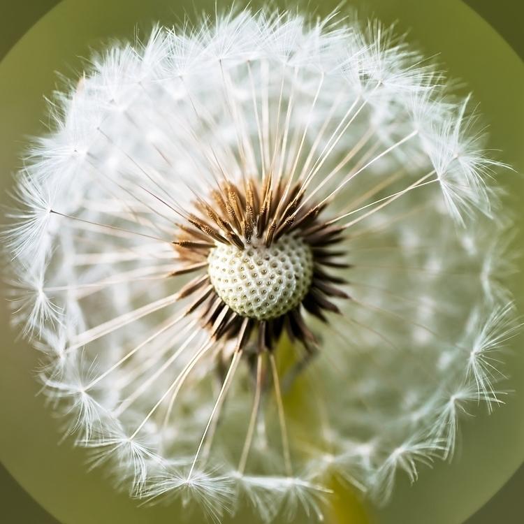 Squaring Circle - dandelion, photography - cliveayron   ello