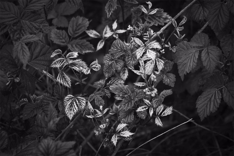Blackberry Leaves Canon 60D - canonphotography_ry - retroyeti | ello