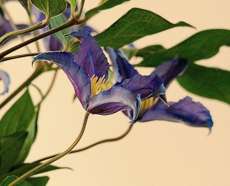 Blue Velvet ... 1/40 - NikonD80 - heinvanwersch | ello