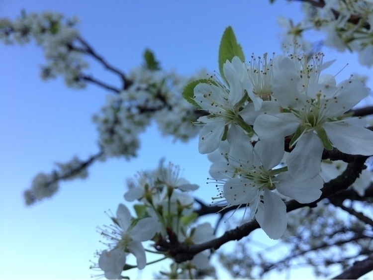 Plum tree - trees, Flowers, Sky - alexander_stiv | ello