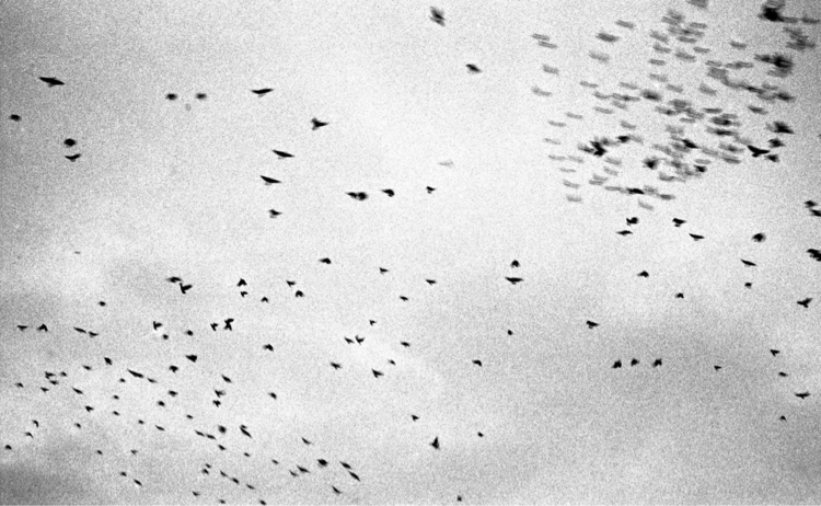Murder - leica, crows, photography - jmo | ello