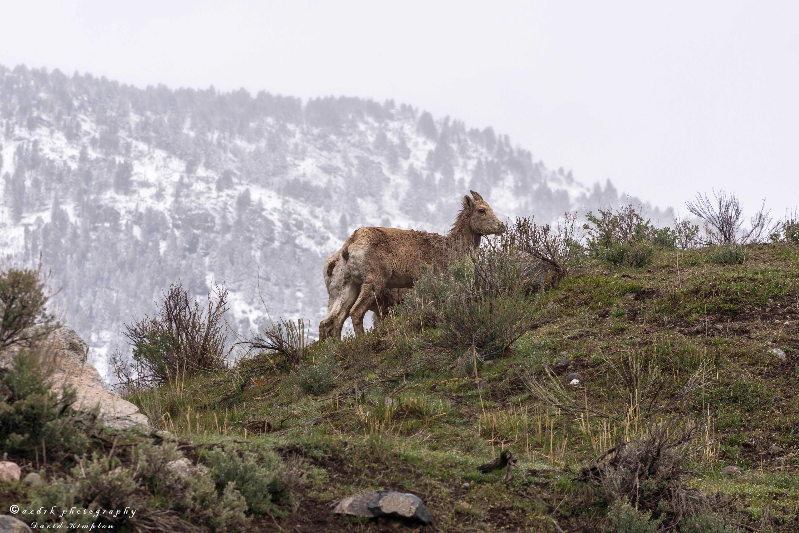 Bighorn Ewes, 2017 Scraggly wet - azdrk   ello