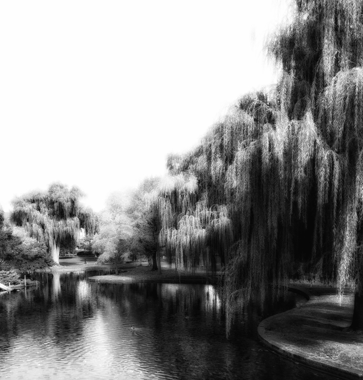 Willows - bw, monochrome, photography - voiceofsf | ello