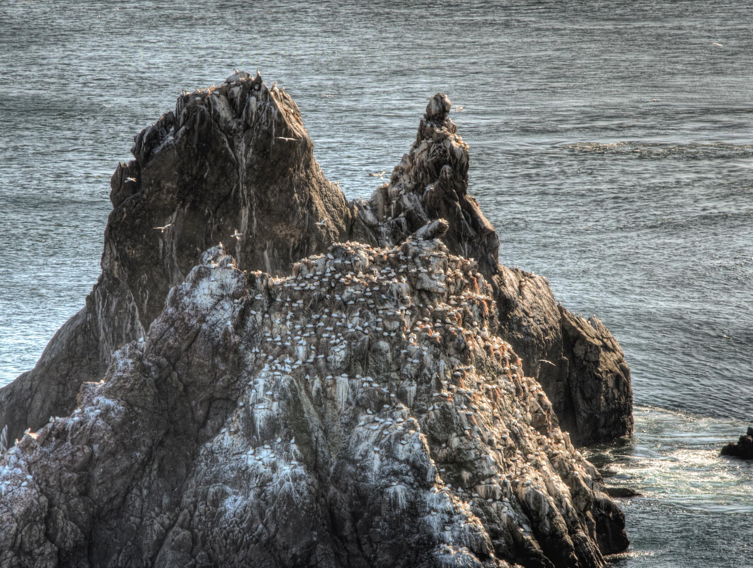 Gannets rock - nesting gannets  - neilhoward | ello