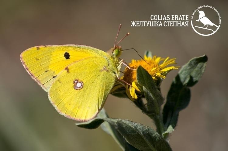 Colias erate - Coliaserate, butterfly - airunreal | ello