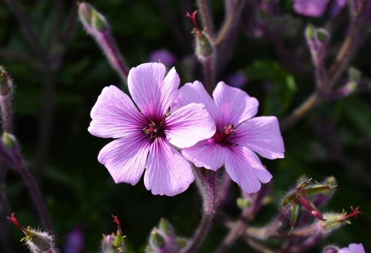 Geranium maderense Madeira - euric | ello