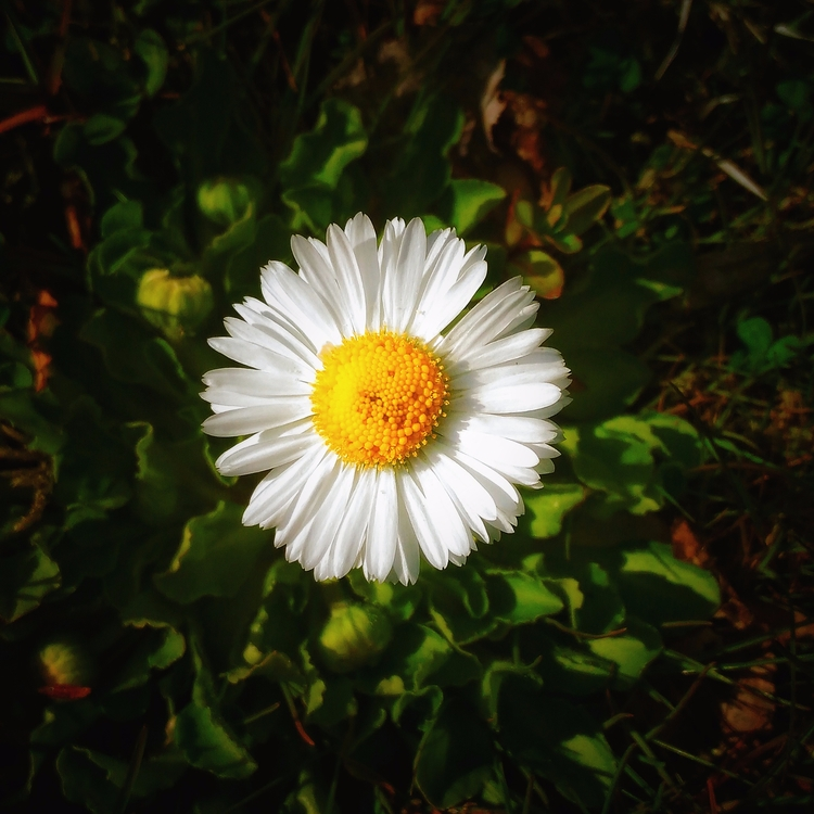 chamomile, lithuania, nature - beheroght | ello