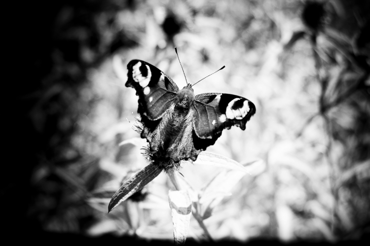 butterfly, backandwhite, photography - flommeunier | ello