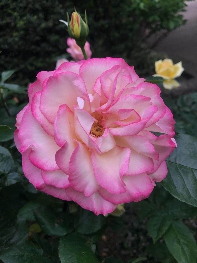 pink, rose - mamimumemami | ello