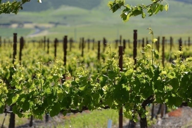 Scribe, Sonoma - napa, wine, grapes - brettbashore | ello