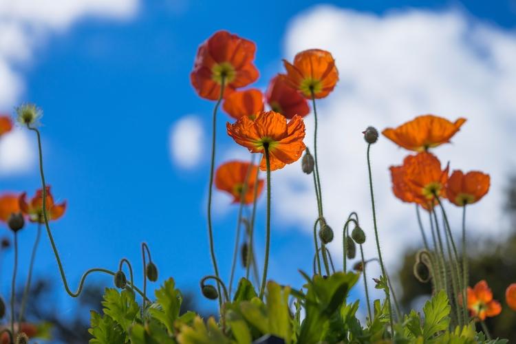 *Bend Reach* Poppies favorite t - jeffmoreau | ello