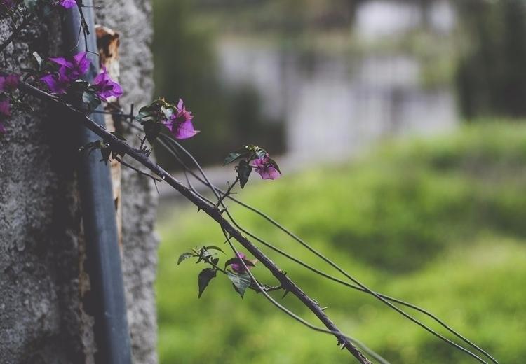 buganvilla, foto de rigor - mgec - natxodiego   ello