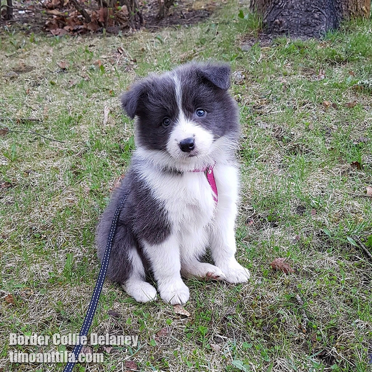 Border Collie Delaney - tewdin | ello