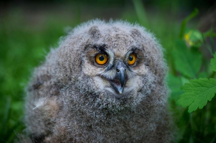 month Eurasian eagle owl (Bubo  - ellonews | ello