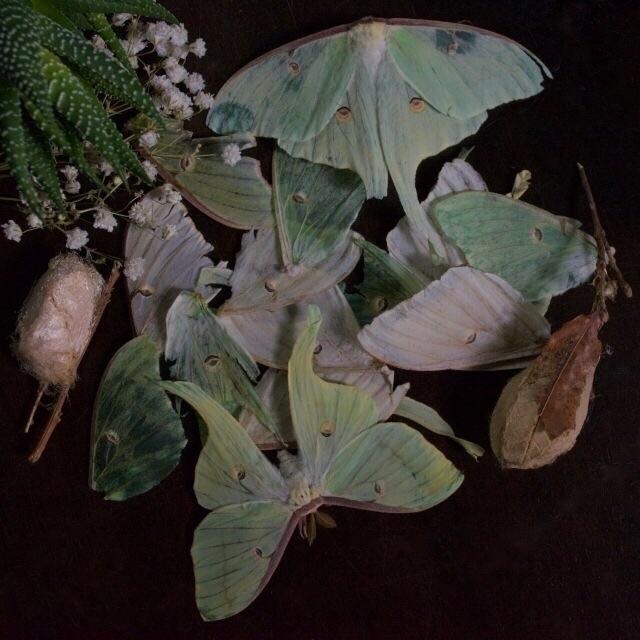 Flashback 2015 - Luna moth poet - thebutterflybabe | ello