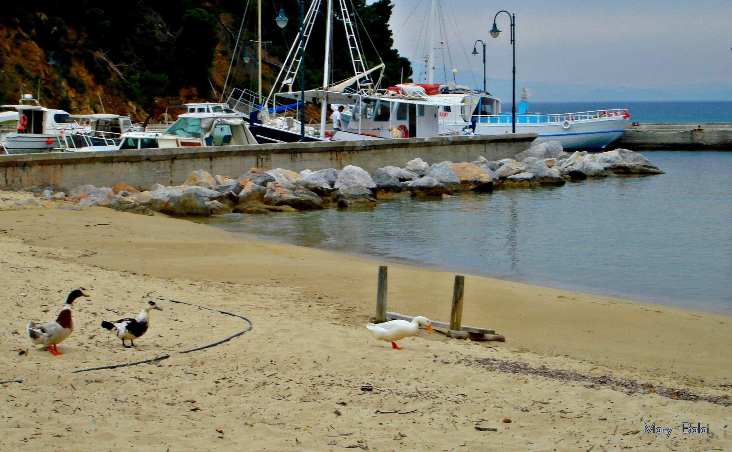 Koukounaries, Skiathos island,  - mairoularissa   ello