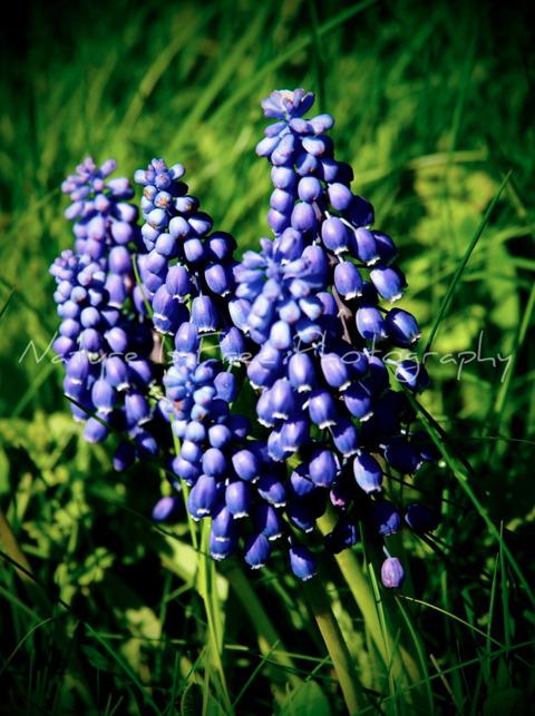 Good Morning!! love Grape Hyaci - natureisfree | ello
