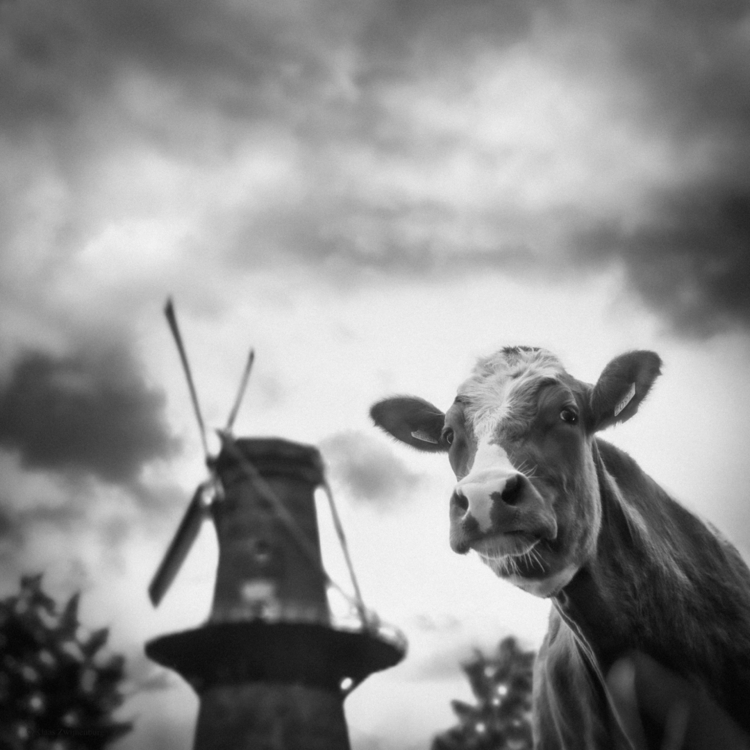 View mill, 2017 - animals, blackandwhite - klaasphoto | ello