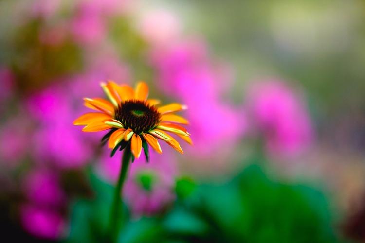 Daisy photograph - flowers, bokeh - andrethaiss | ello