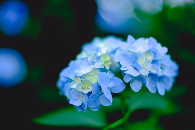 Beautiful blue - Hydranegas, flowers - andrethaiss | ello