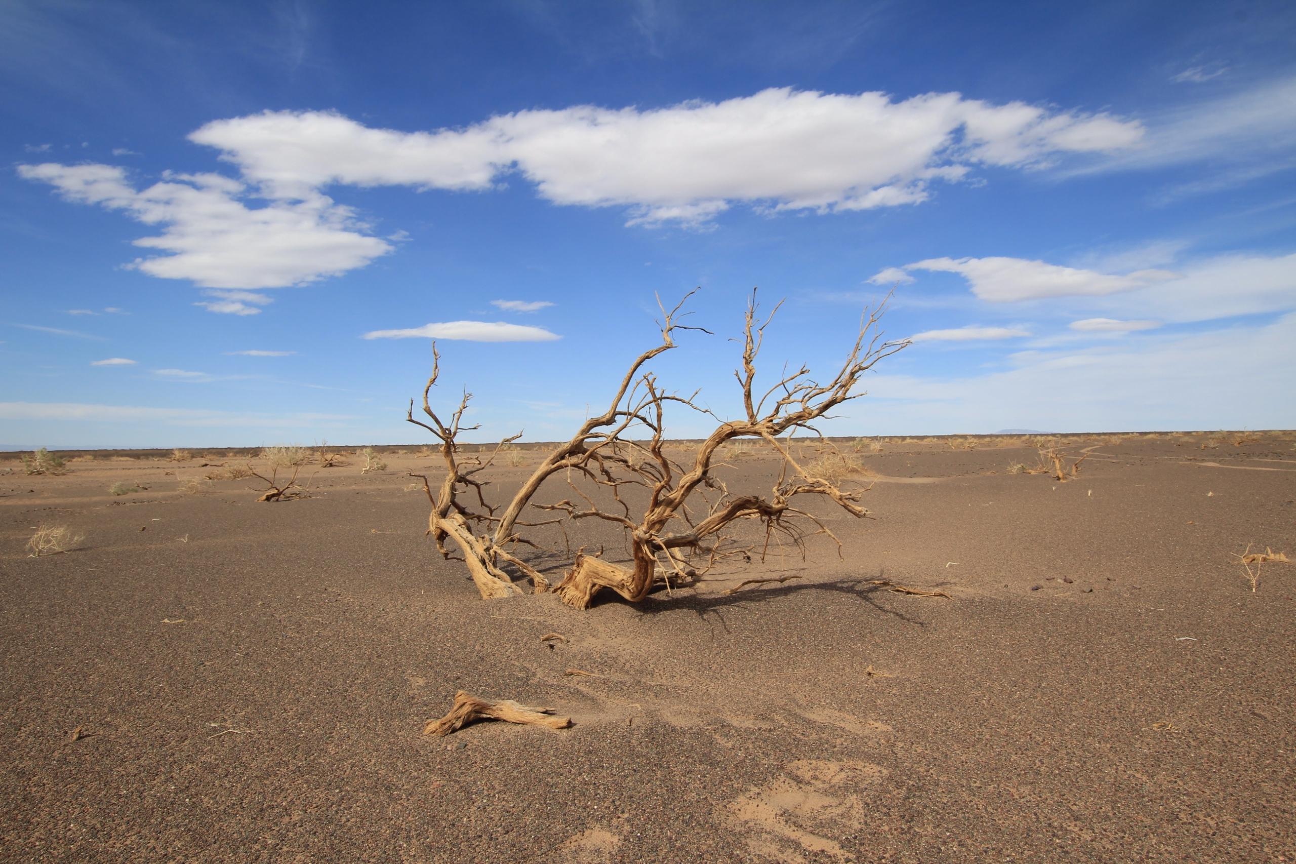 Mongolia. Dead saxaul desert - tmayko | ello