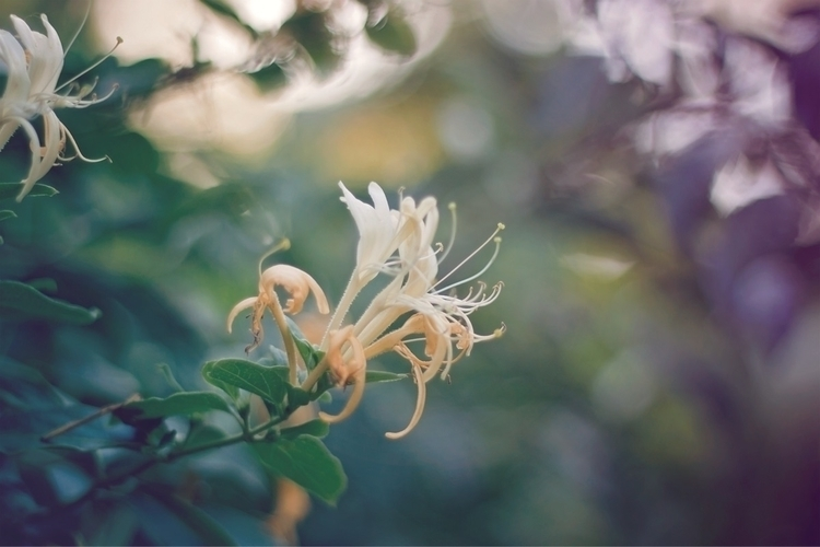 Honeysuckle dreams - wild_serenity | ello