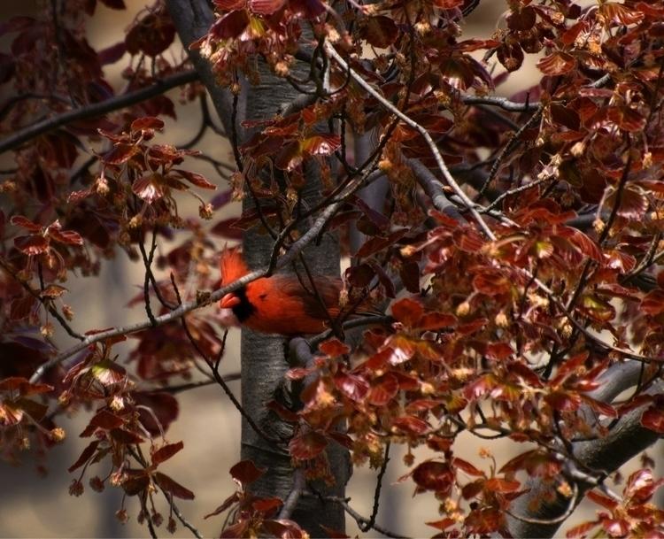 Northern Cardinal - hamont, cardinal - canadianrambler | ello