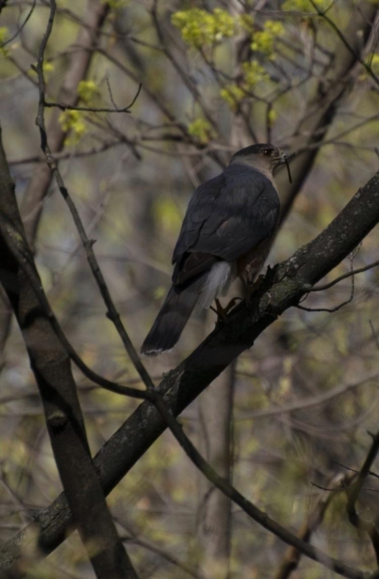 Hawk - hawk, birdofprey, birdphotography - canadianrambler | ello