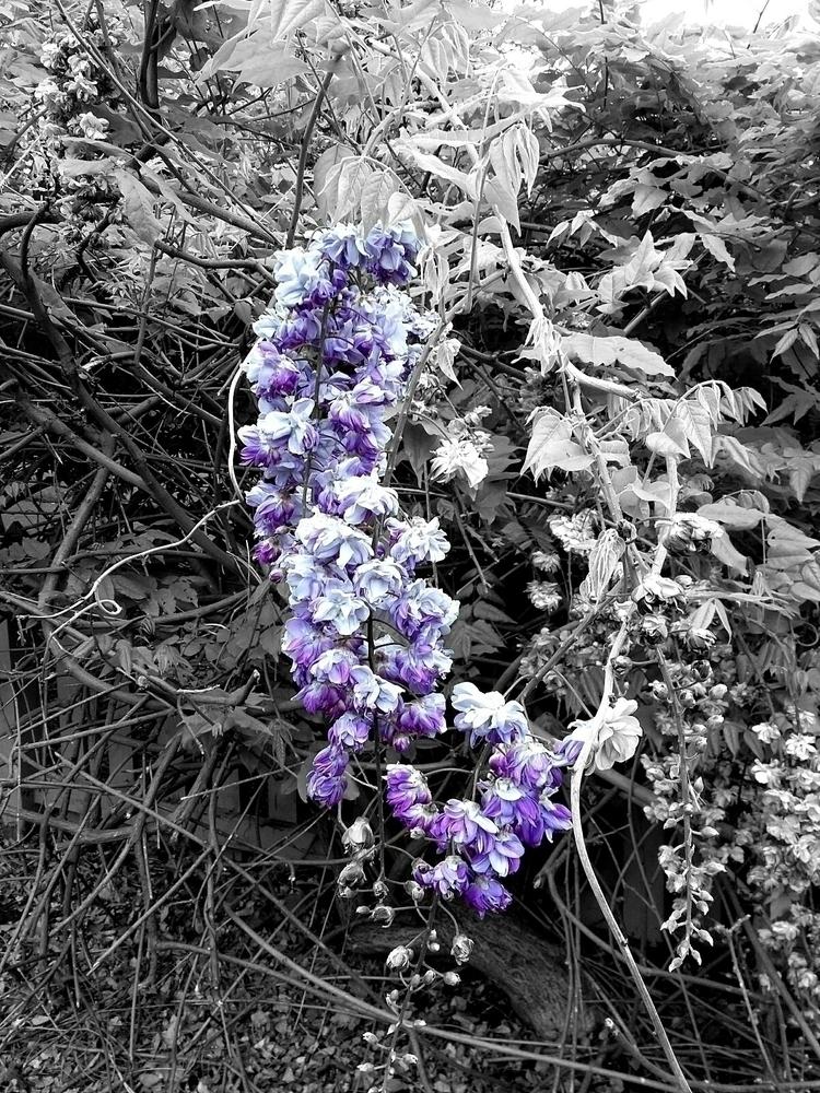blackandwhite, color, purple - therealfuzz   ello
