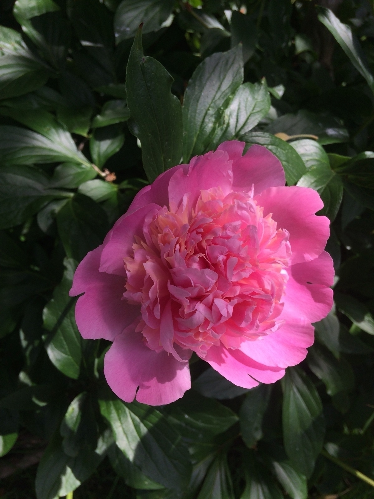 Peony time favorite time. favor - thewhimsicaloffshoot   ello