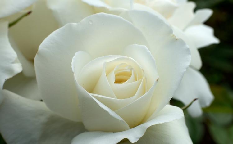 Cette rose blanche de Lille pas - gclavet | ello