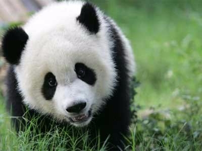 Fijaos como el pandita se enter - raviola-manda-y-no-el-panda   ello