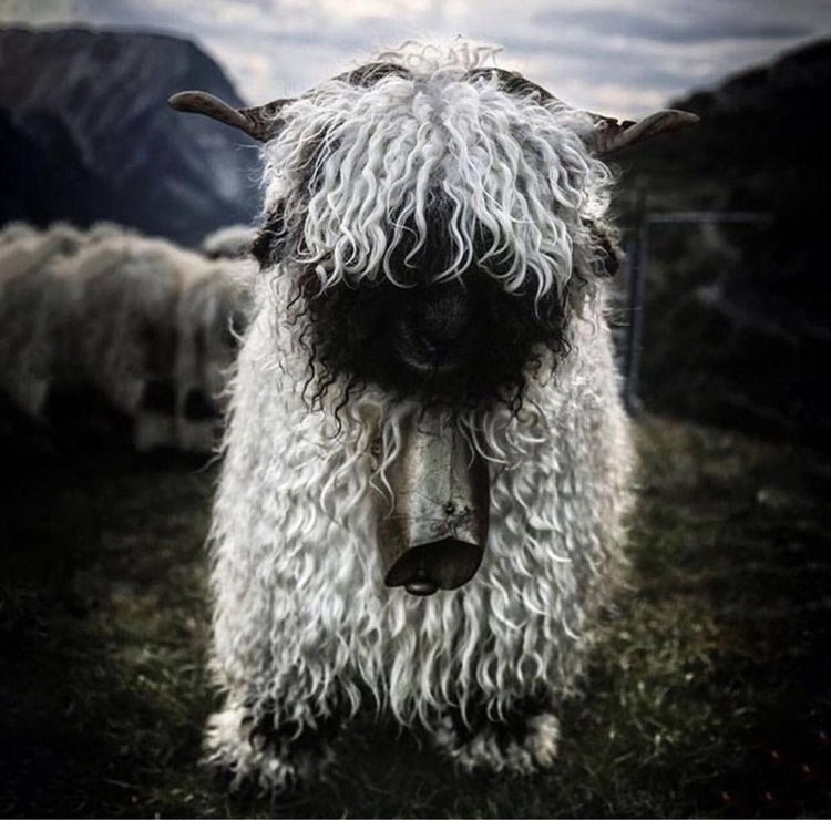 Valais, blacknose, sheep, Switzerland - mythicalforces | ello