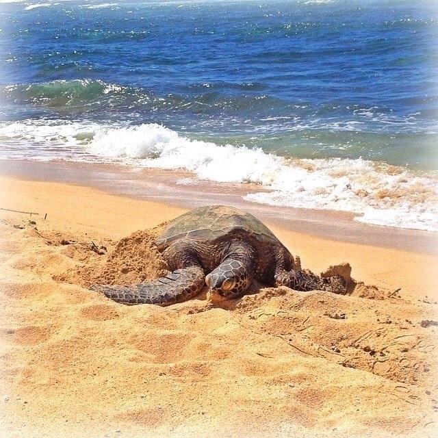 Lazy Sunday - turtle, hawaii, beach - adamfjgreen | ello