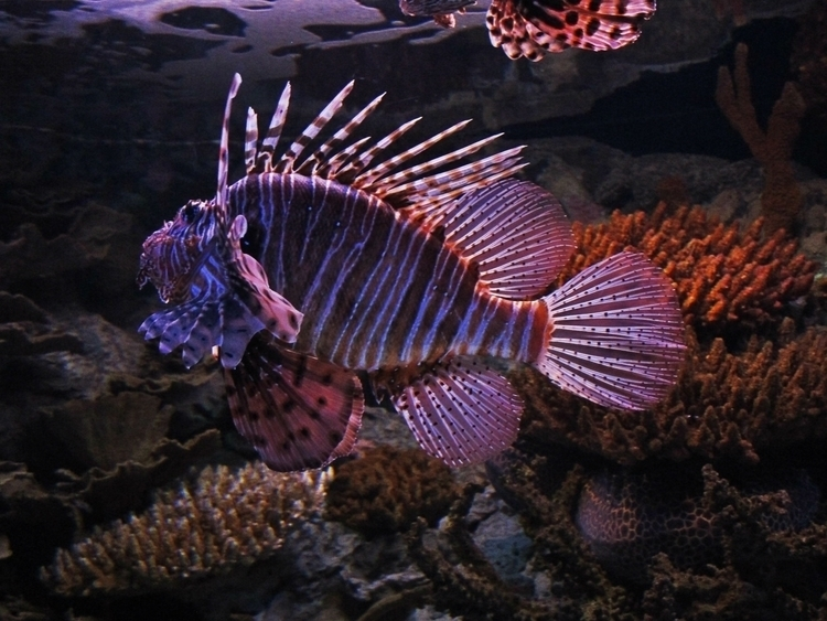 ✮ Lionfish, Grumpy Time year: J - dekodex | ello