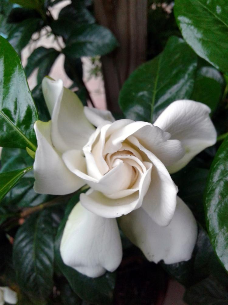 garden - gardenia, flowers, plants - valentinacano | ello