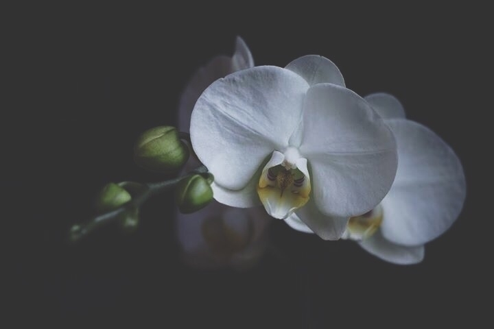 year orchid graces beauty, wort - spiritwoods | ello