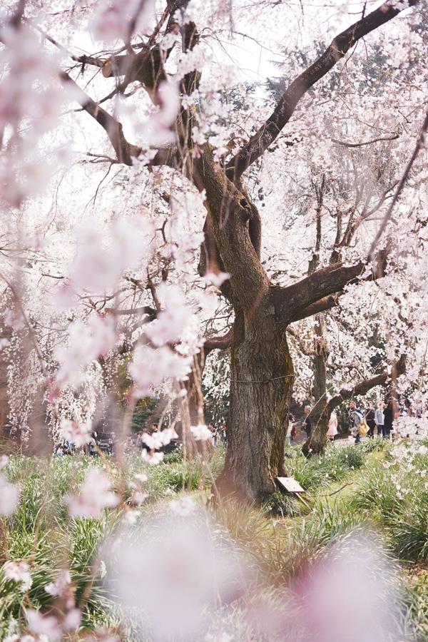 Sakura peak / Yoyogi Park Tokyo - katielovecraft | ello