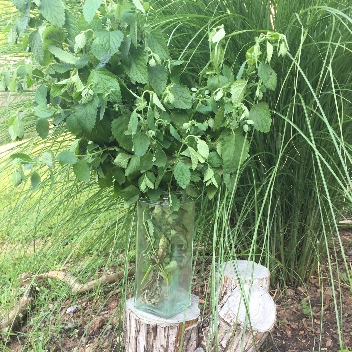 Lemon Balm garden today! Plenty - savageapothecary | ello