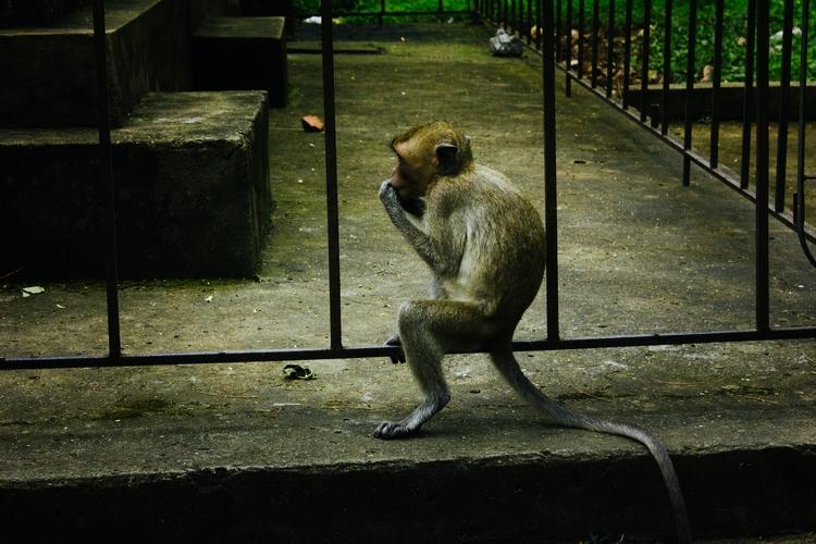 escapee (2017 - animal, ape, asia - edwardpalmquist | ello