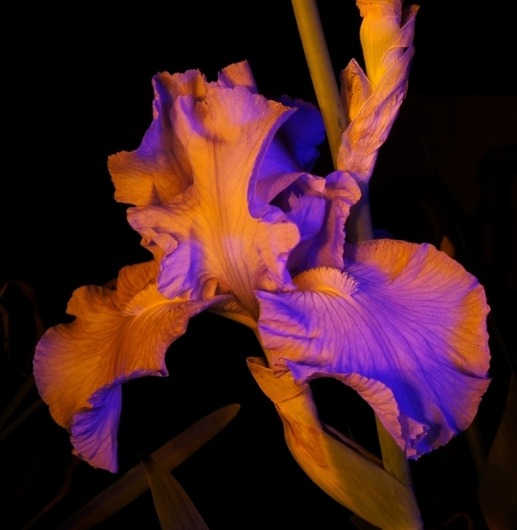 Blue Iris Disguise - photography - texaschris13 | ello