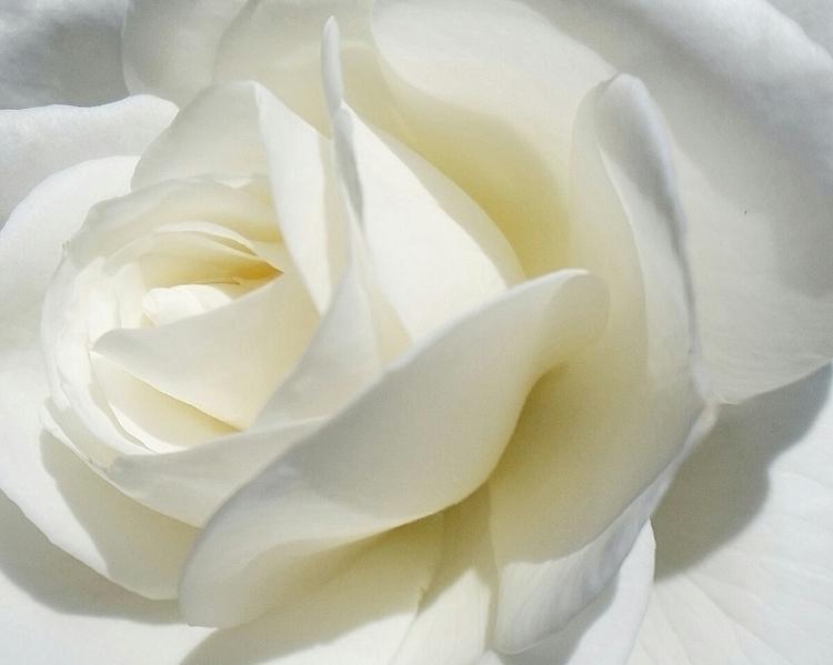 rose, flower, whiteroses, white - aleksaleksa   ello