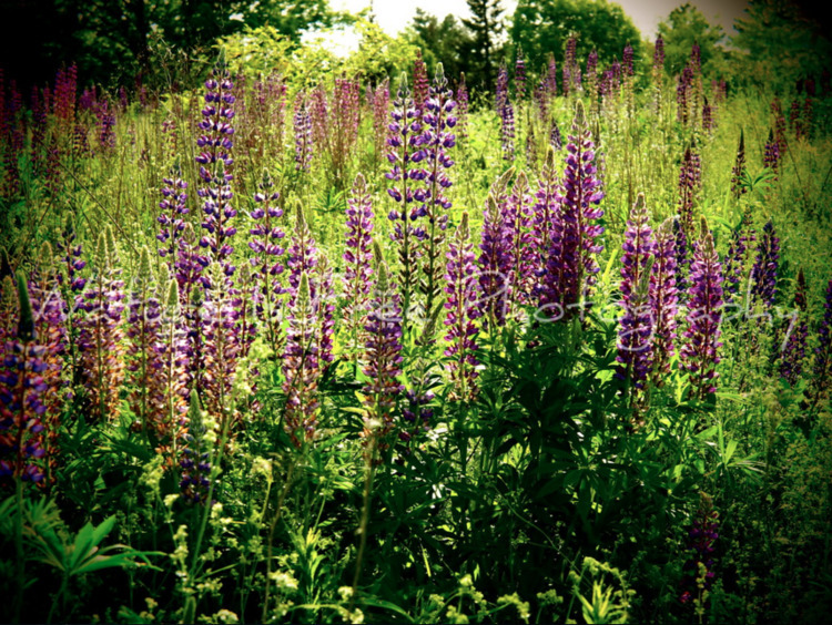 Love Lupines Maine Magazine Eas - natureisfree | ello