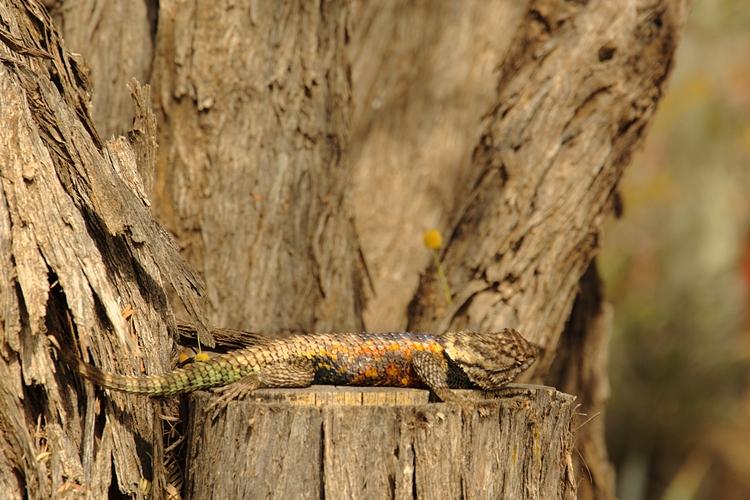 Male Desert Spiny Lizard Botani - georgerocheleau | ello