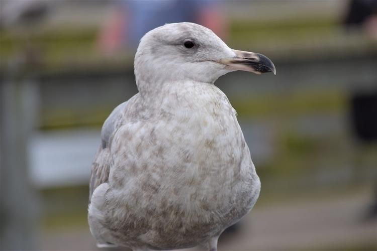 BC, Sidney, sea, gull, seagull - edwardli | ello